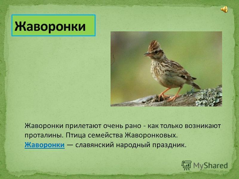 Жаворонки прилетают очень рано - как только возникают проталины. Птица семейства Жаворонковых. Жаворонки славянский народный праздник. Жаворонки