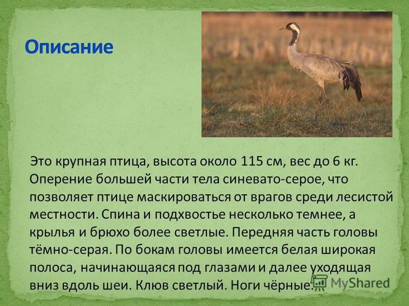 Это крупная птица, высота около 115 см, вес до 6 кг. Оперение большей части тела синевато-серое, что позволяет птице маскироваться от врагов среди лесистой местности. Спина и подхвостье несколько темнее, а крылья и брюхо более светлые. Передняя часть