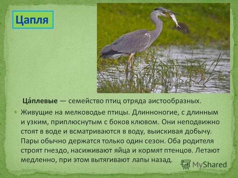 Ца́плевые семейство птиц отряда аистообразных. Живущие на мелководье птицы. Длинноногие, с длинным и узким, приплюснутым с боков клювом. Они неподвижно стоят в воде и всматриваются в воду, выискивая добычу. Пары обычно держатся только один сезон. Оба