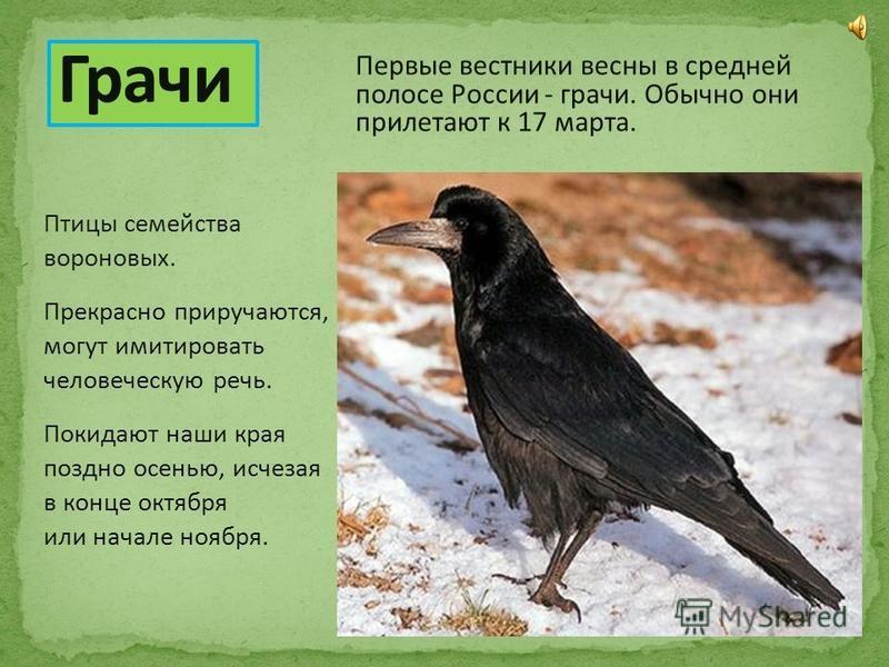 Первые вестники весны в средней полосе России - грачи. Обычно они прилетают к 17 марта. Птицы семейства вороновых. Прекрасно приручаются, могут имитировать человеческую речь. Покидают наши края поздно осенью, исчезая в конце октября или начале ноября