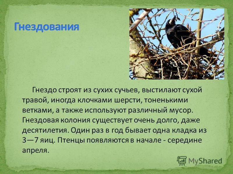 Гнездо строят из сухих сучьев, выстилают сухой травой, иногда клочками шерсти, тоненькими ветками, а также используют различный мусор. Гнездовая колония существует очень долго, даже десятилетия. Один раз в год бывает одна кладка из 37 яиц. Птенцы поя