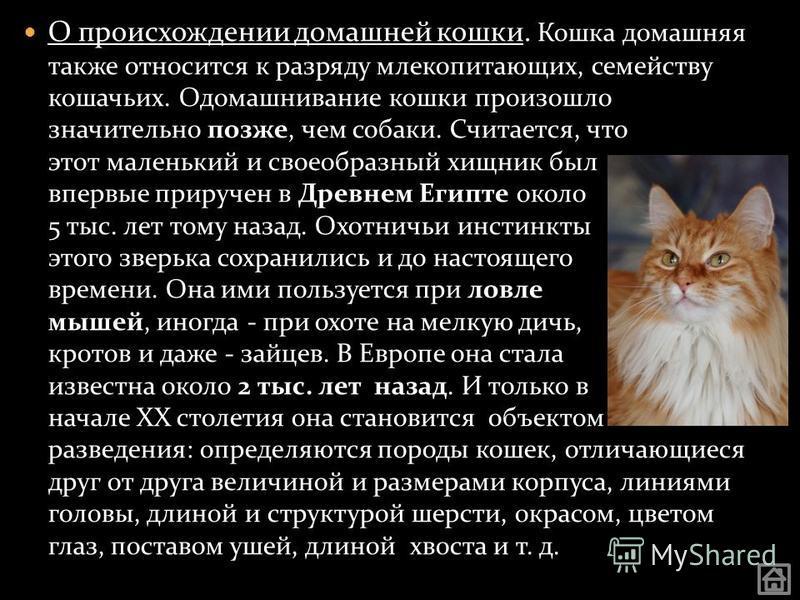 О происхождении домашней кошки. Кошка домашняя также относится к разряду млекопитающих, семейству кошачьих. Одомашнивание кошки произошло значительно позже, чем собаки. Считается, что этот маленький и своеобразный хищник был впервые приручен в Древне