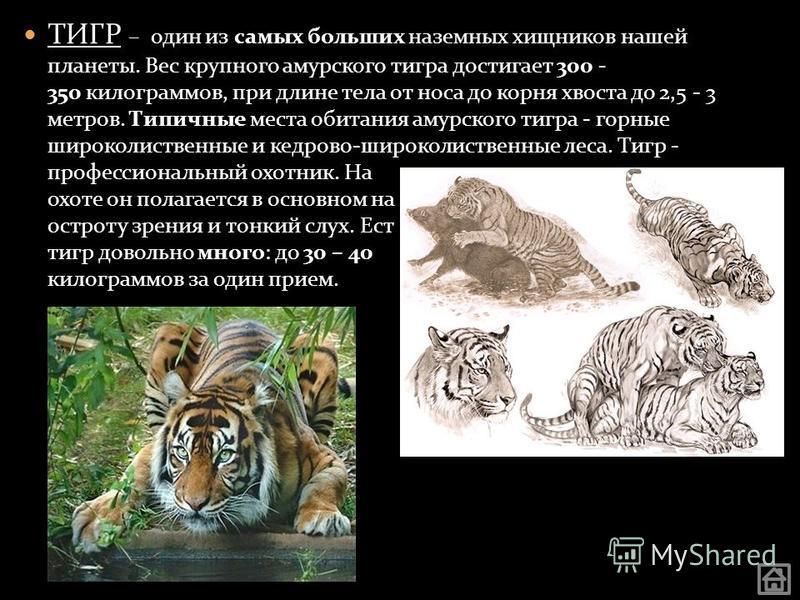 ТИГР – один из самых больших наземных хищников нашей планеты. Вес крупного амурского тигра достигает 300 - 350 килограммов, при длине тела от носа до корня хвоста до 2,5 - 3 метров. Типичные места обитания амурского тигра - горные широколиственные и