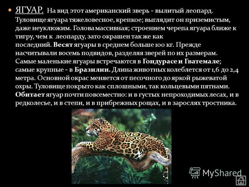 ЯГУАР. На вид этот американский зверь - вылитый леопард. Туловище ягуара тяжеловесное, крепкое; выглядит он приземистым, даже неуклюжим. Голова массивная; строением черепа ягуара ближе к тигру, чем к леопарду, зато окрашен так же как последний. Весят