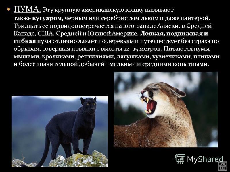 ПУМА. Эту крупную американскую кошку называют также кугуаром, черным или серебристым львом и даже пантерой. Тридцать ее подвидов встречается на юго-западе Аляски, в Средней Канаде, США, Средней и Южной Америке. Ловкая, подвижная и гибкая пума отлично