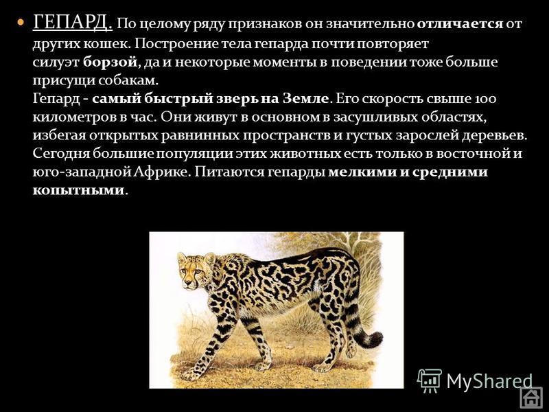 ГЕПАРД. По целому ряду признаков он значительно отличается от других кошек. Построение тела гепарда почти повторяет силуэт борзой, да и некоторые моменты в поведении тоже больше присущи собакам. Гепард - самый быстрый зверь на Земле. Его скорость свы