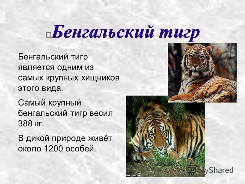 Бенгальский тигр Бенгальский тигр является одним из самых крупных хищников этого вида. Самый крупный бенгальский тигр весил 388 кг. В дикой природе живёт около 1200 особей.