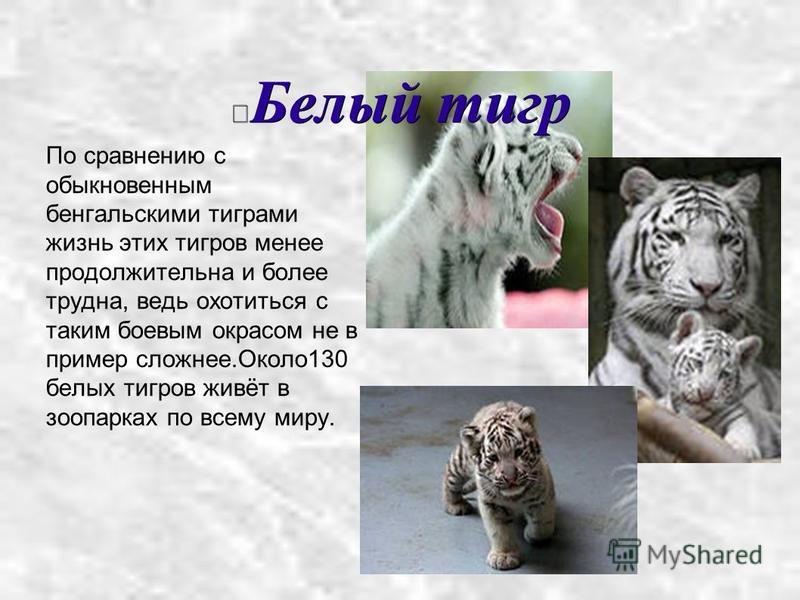 Белый тигр По сравнению с обыкновенным бенгальскими тиграми жизнь этих тигров менее продолжительна и более трудна, ведь охотиться с таким боевым окрасом не в пример сложнее.Около 130 белых тигров живёт в зоопарках по всему миру.