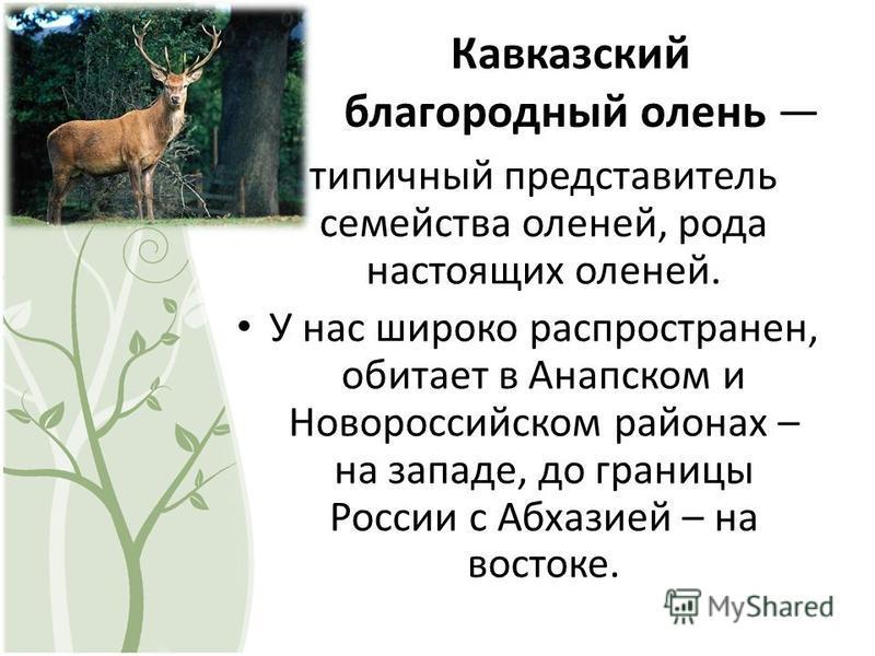 Кавказский благородный олень типичный представитель семейства оленей, рода настоящих оленей. У нас широко распространен, обитает в Анапском и Новороссийском районах – на западе, до границы России с Абхазией – на востоке.