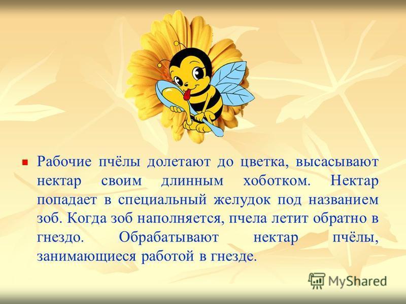 Рабочие пчёлы долетают до цветка, высасывают нектар своим длинным хоботком. Нектар попадает в специальный желудок под названием зоб. Когда зоб наполняется, пчела летит обратно в гнездо. Обрабатывают нектар пчёлы, занимающиеся работой в гнезде.