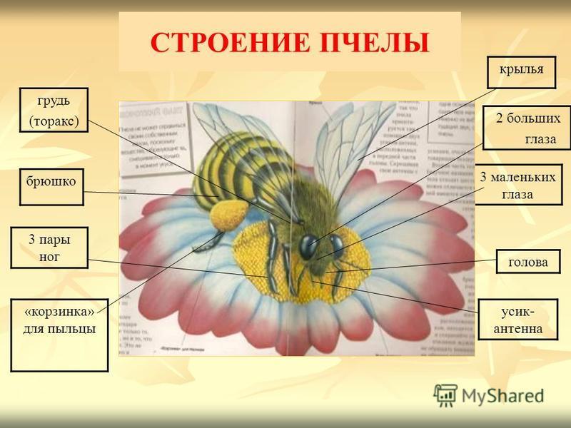 СТРОЕНИЕ ПЧЕЛЫ крылья «корзинка» для пыльцы усик- антенна 3 маленьких глаза голова 2 больших глаза грудь (торакс) брюшко 3 пары ног