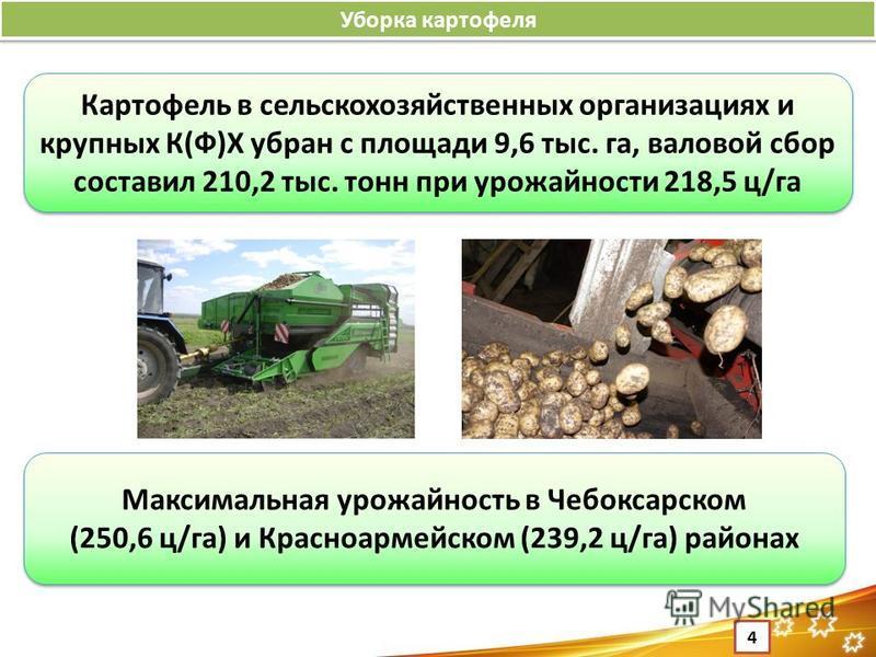 Уборка картофеля 4 Картофель в сельскохозяйственных организациях и крупных К(Ф)Х убран с площади 9,6 тыс. га, валовой сбор составил 210,2 тыс. тонн при урожайности 218,5 ц/га Максимальная урожайность в Чебоксарском (250,6 ц/га) и Красноармейском (239
