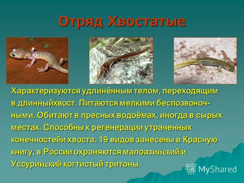 Отряд Хвостатые Характеризуются удлинённым телом, переходящим в длинный хвост. Питаются мелкими беспозвоночными. Обитают в пресных водоёмах, иногда в сырых местах. Способны к регенерации утраченных конечностей и хвоста. 19 видов занесены в Красную кн