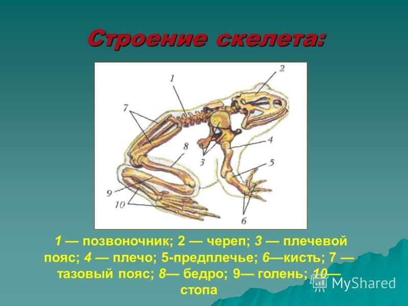 Строение скелета: 1 позвоночник; 2 череп; 3 плечевой пояс; 4 плечо; 5-предплечье; 6 кисть; 7 тазовый пояс; 8 бедро; 9 голень; 10 стопа