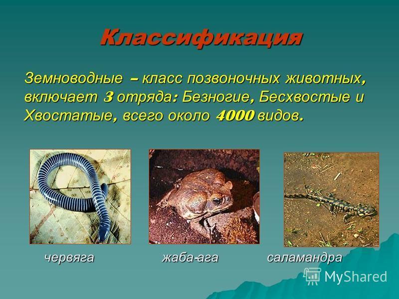Классификация Земноводные – класс позвоночных животных, включает 3 отряда : Безногие, Бесхвостые и Хвостатые, всего около 4000 видов. червяга жаба - ага саламандра червяга жаба - ага саламандра