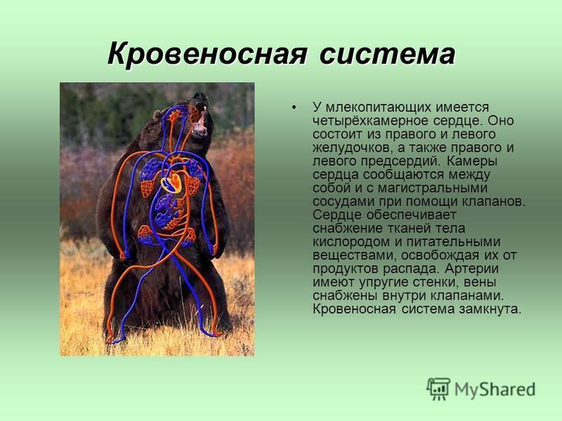 Кровеносная система У млекопитающих имеется четырёхкамерное сердце. Оно состоит из правого и левого желудочков, а также правого и левого предсердий. Камеры сердца сообщаются между собой и с магистральными сосудами при помощи клапанов. Сердце обеспечи