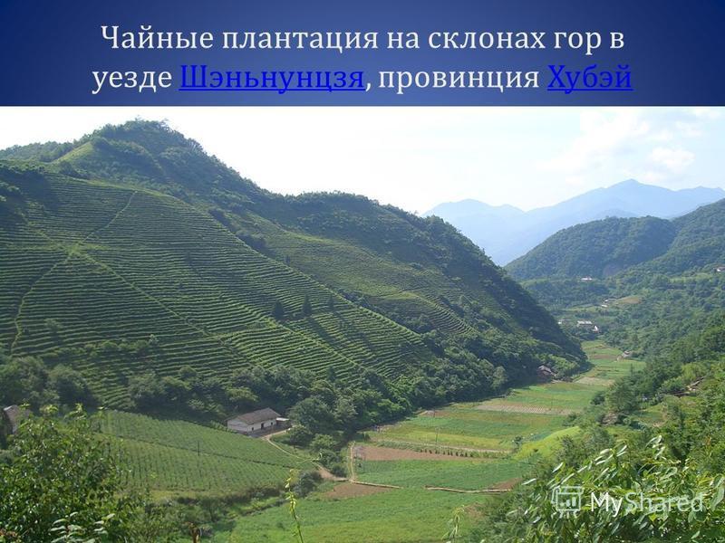 Чайные плантация на склонах гор в уезде Шэньнунцзя, провинция Хубэй ШэньнунцзяХубэй