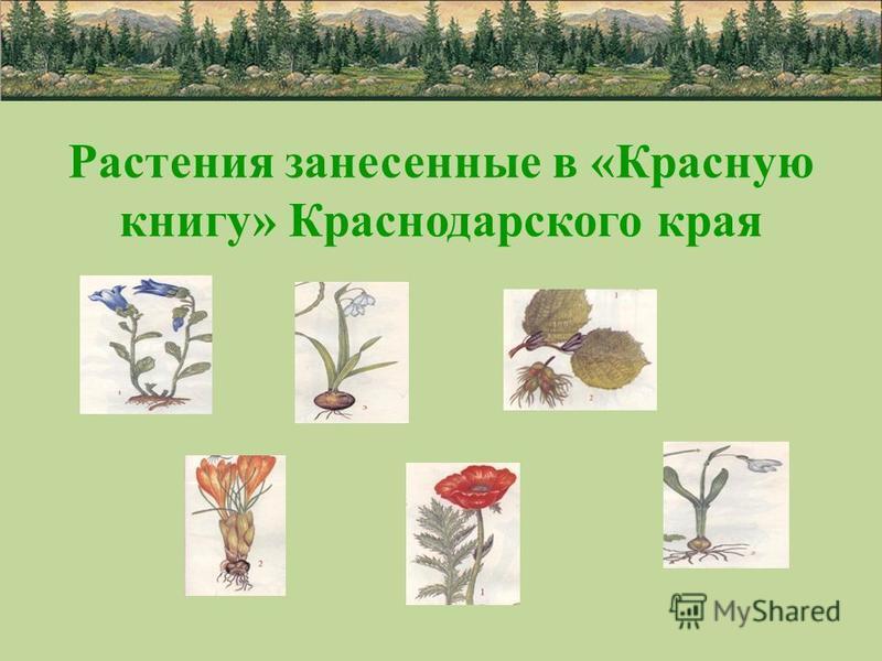 Растения занесенные в «Красную книгу» Краснодарского края