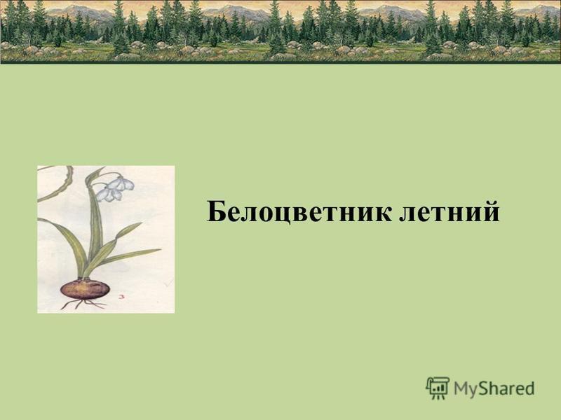 Белоцветник летний