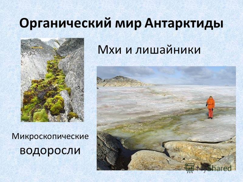 Органический мир Антарктиды Мхи и лишайники Микроскопические водоросли