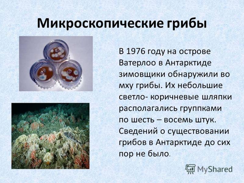 Микроскопические грибы В 1976 году на острове Ватерлоо в Антарктиде зимовщики обнаружили во мху грибы. Их небольшие светло- коричневые шляпки располагались группками по шесть – восемь штук. Сведений о существовании грибов в Антарктиде до сих пор не б