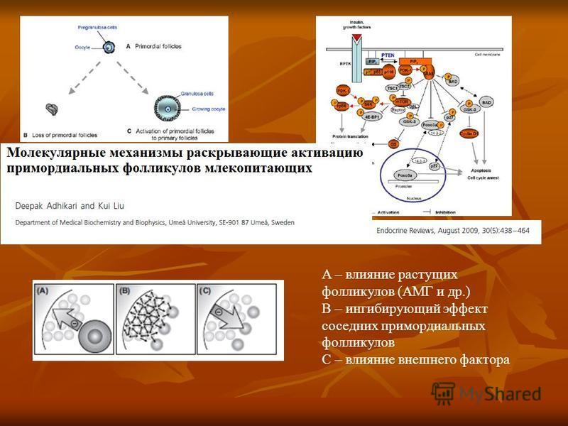 A – влияние растущих фолликулов (АМГ и др.) B – ингибирующий эффект соседних примордиальных фолликулов С – влияние внешнего фактора