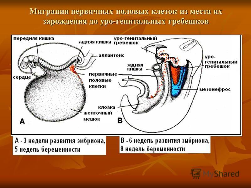 Миграция первичных половых клеток из места их зарождения до уро-генитальных гребешков