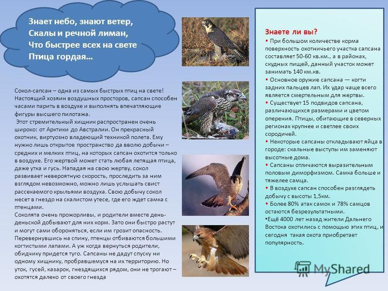 Сокол-сапсан – одна из самых быстрых птиц на свете! Настоящий хозяин воздушных просторов, сапсан способен часами парить в воздухе и выполнять впечатляющие фигуры высшего пилотажа. Этот стремительный хищник распространен очень широко: от Арктики до Ав