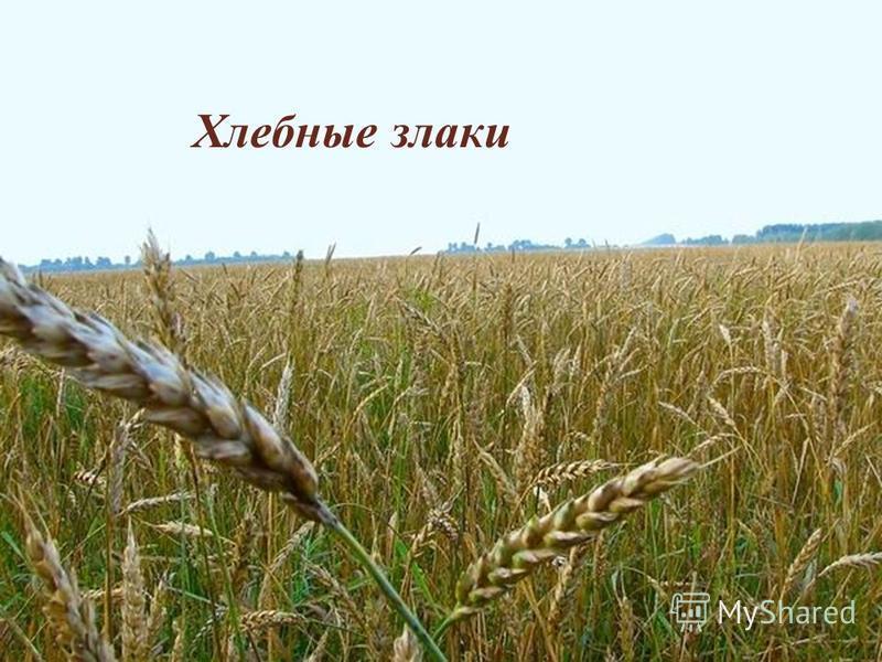 Хлебные злаки