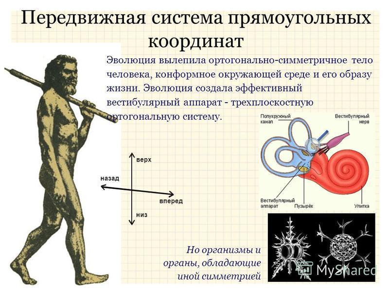Передвижная система прямоугольных координат верх вперед низ назад Эволюция вылепила ортогонально-симметричное тело человека, конформное окружающей среде и его образу жизни. Эволюция создала эффективный вестибулярный аппарат - трехплоскостную ортогона