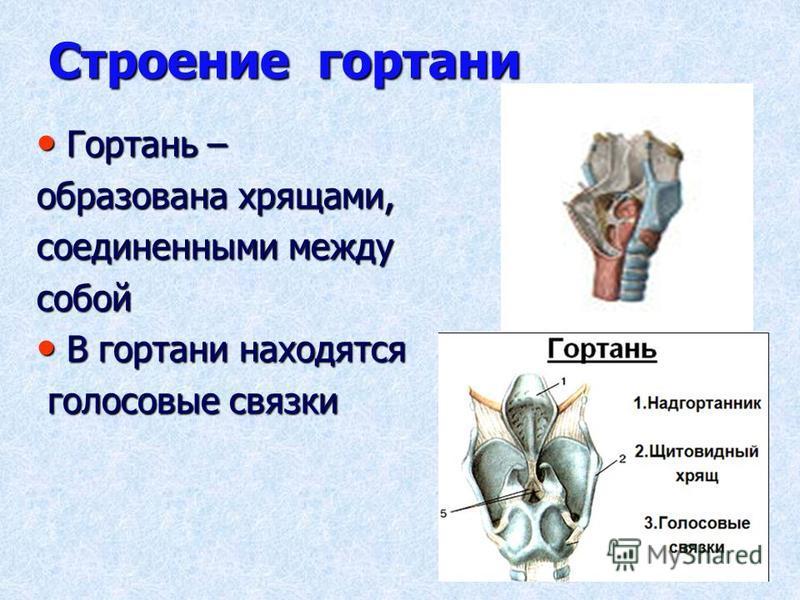 Строение гортани Гортань – Гортань – образована хрящами, соединенными между собой В гортани находятся В гортани находятся голосовые связки голосовые связки