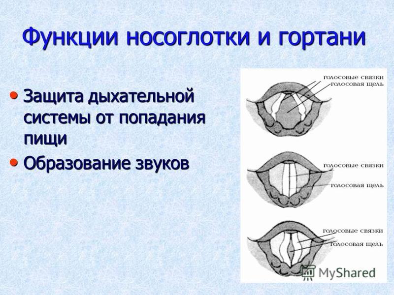 Функции носоглотки и гортани Функции носоглотки и гортани Защита дыхательной системы от попадания пищи Защита дыхательной системы от попадания пищи Образование звуков Образование звуков