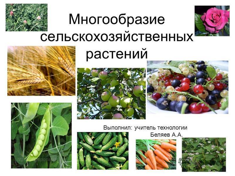 Многообразие сельскохозяйственных растений Выполнил: учитель технологии Беляев А.А.