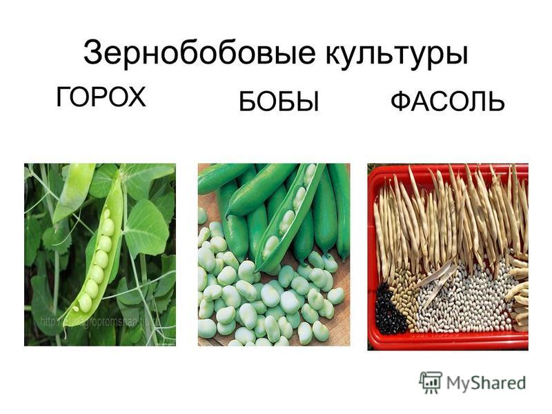 Зернобобовые культуры ГОРОХ БОБЫФАСОЛЬ