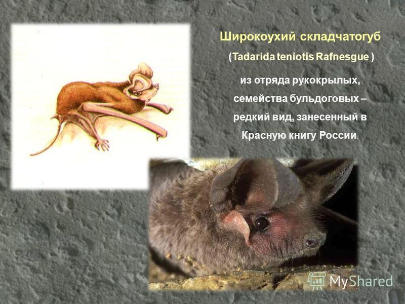 Широкоухий складчатогуб (Tadarida teniotis Rafnesgue ) из отряда рукокрылых, семейства бульдогов ых – редкий вид, занесенный в Красную книгу России.