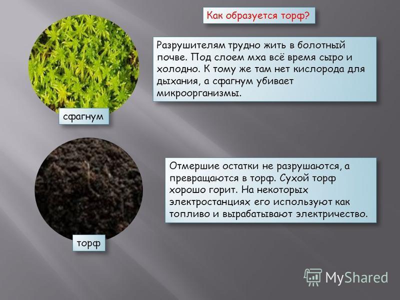 сфагнум торф Как образуется торф? Разрушителям трудно жить в болотный почве. Под слоем мха всё время сыро и холодно. К тому же там нет кислорода для дыхания, а сфагнум убивает микроорганизмы. Отмершие остатки не разрушаются, а превращаются в торф. Су