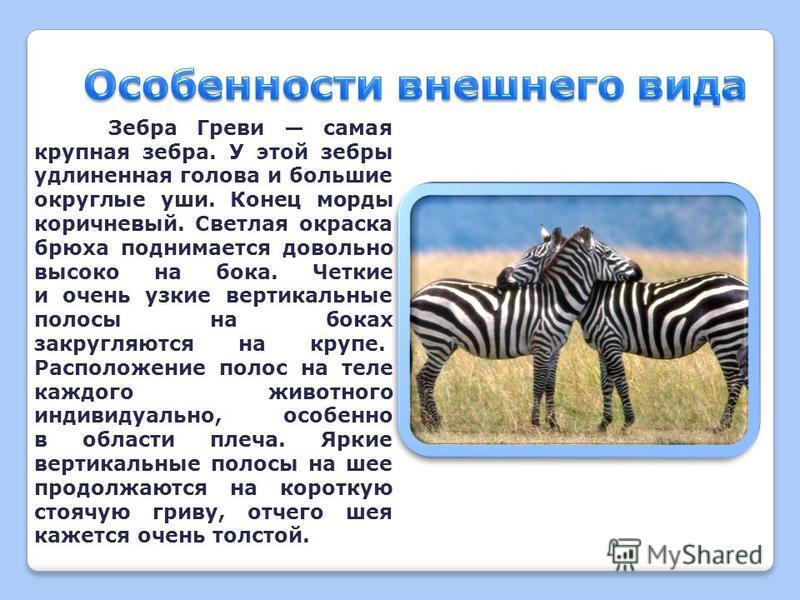 Зебра Греви или пустынная зебра вид млекопитающих из семейства лошадиных. Зебры Греви обитают на юге Африки, в опустыненных степях и засушливых кустарниковых саваннах Эфиопии, Сомали, сев. Кении.