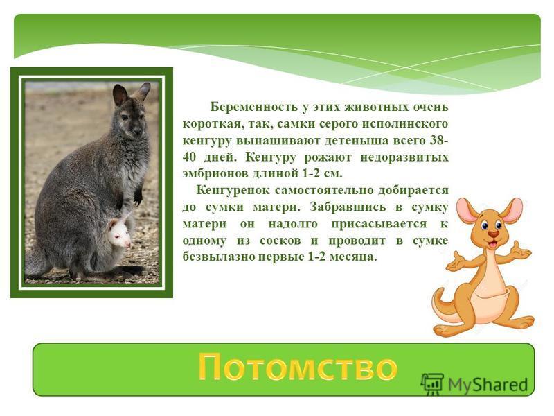 Питаются кенгуру растительной пищей, которую могут пережевывать дважды, отрыгивая часть переваренного корма и пережевывая его повторно, подобно жвачным животным. Пьют кенгуру мало и могут долго обходится без воды, довольствуясь влагой растений. Больш
