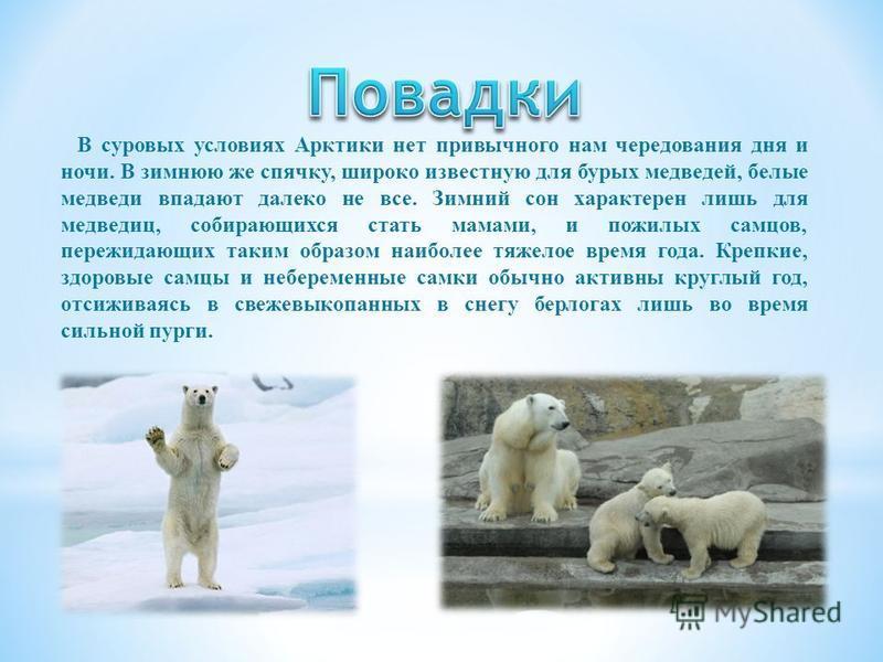 Белый медведь – хищник, активно добывающий крупных животных. Главная его жертва – арктические тюлени, в первую очередь, кольчатая нерпа. Находясь на суше, медведи кормятся яйцами птиц, прихватывают леммингов. Кроме того, летом на материке и островах