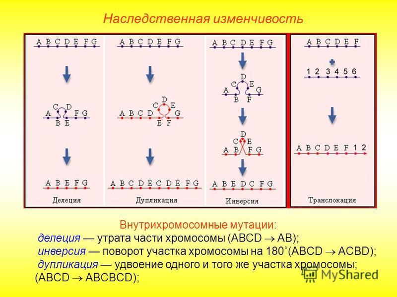 Внутрихромосомные мутации: делеция утрата части хромосомы (АВСD AB); инверсия поворот участка хромосомы на 180˚(ABCD ACBD); дупликация удвоение одного и того же участка хромосомы; (ABCD ABCBCD); Наследственная изменчивость