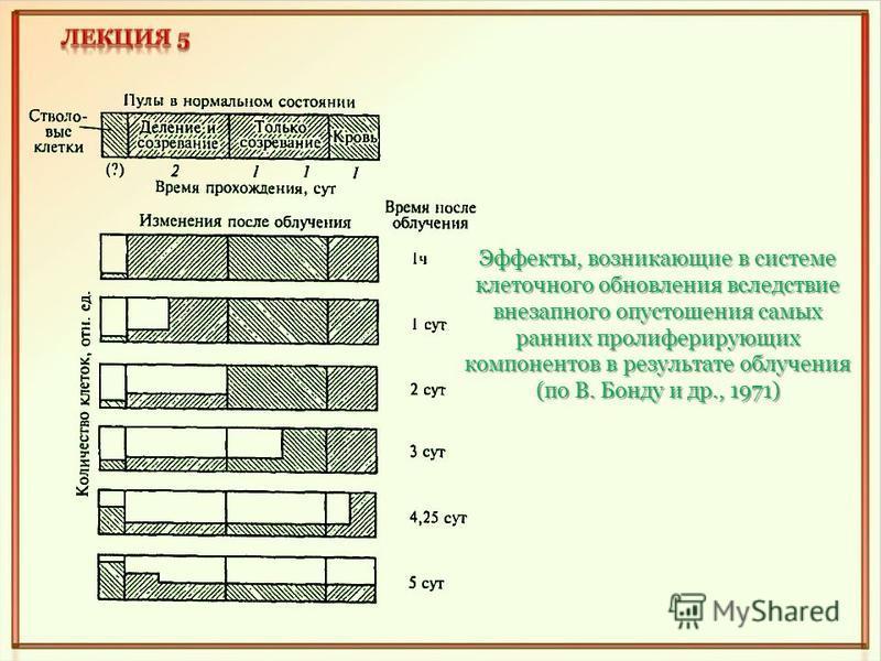 Эффекты, возникающие в системе клеточного обновления вследствие внезапного опустошения самых ранних пролиферирующих компонентов в результате облучения (по В. Бонду и др., 1971)