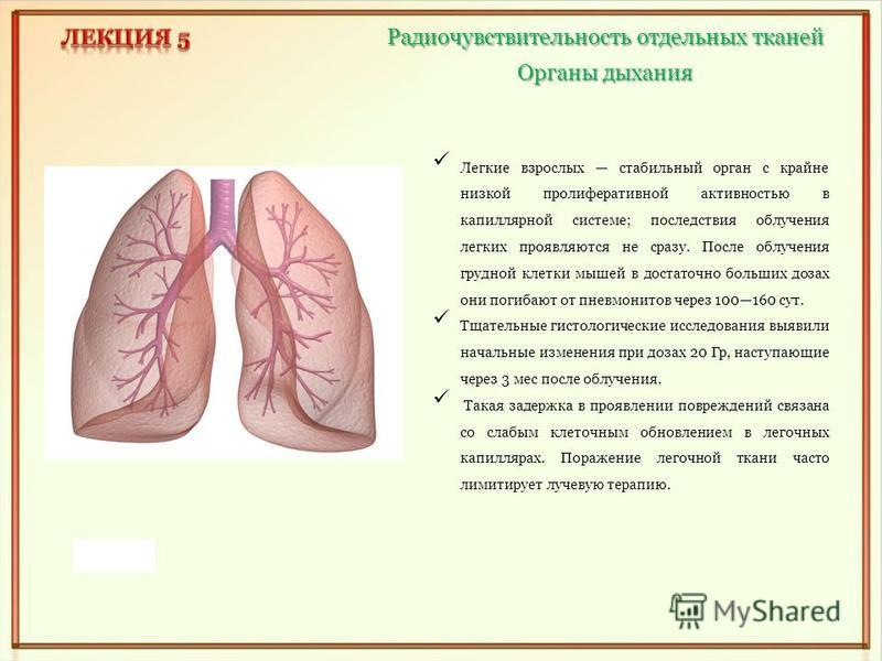 Органы дыхания Радиочувствительность отдельных тканей Легкие взрослых стабильный орган с крайне низкой пролиферативной активностью в капиллярной системе; последствия облучения легких проявляются не сразу. После облучения грудной клетки мышей в достат