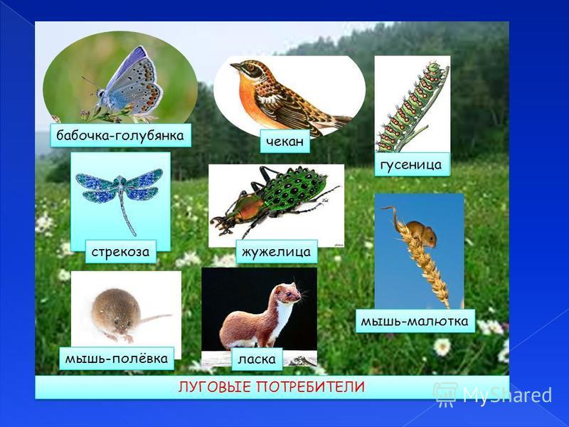 бабочка-голубянка чекан стрекоза гусеница жужелица мышь-малютка мышь-полёвка ласка ЛУГОВЫЕ ПОТРЕБИТЕЛИ