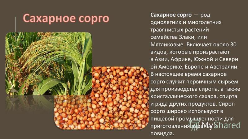 Сахарное сорго род однолетних и многолетних травянистых растений семейства Злаки, или Мятликовые. Включает около 30 видов, которые произрастают в Азии, Африке, Южной и Северн ой Америке, Европе и Австралии. В настоящее время сахарное сорго служит пер