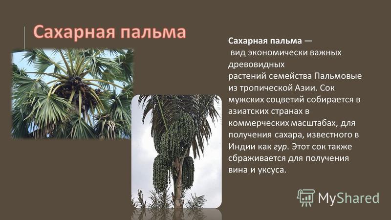 Сахарная пальма вид экономически важных древовидных растений семейства Пальмовые из тропической Азии. Сок мужских соцветий собирается в азиатских странах в коммерческих масштабах, для получения сахара, известного в Индии как гур. Этот сок также сбраж