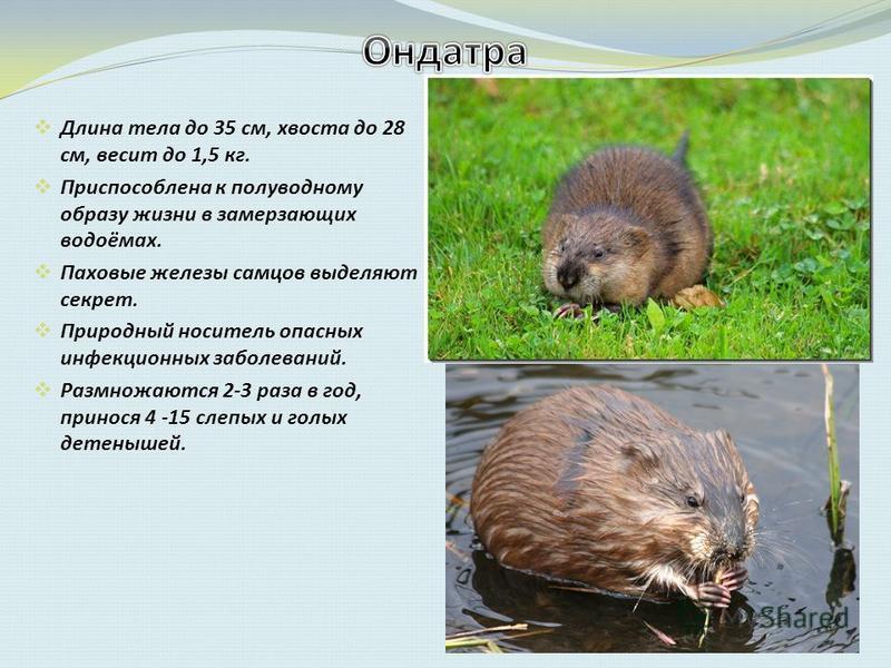 Длина тела до 35 см, хвоста до 28 см, весит до 1,5 кг. Приспособлена к полуводному образу жизни в замерзающих водоёмах. Паховые железы самцов выделяют секрет. Природный носитель опасных инфекционных заболеваний. Размножаются 2-3 раза в год, принося 4