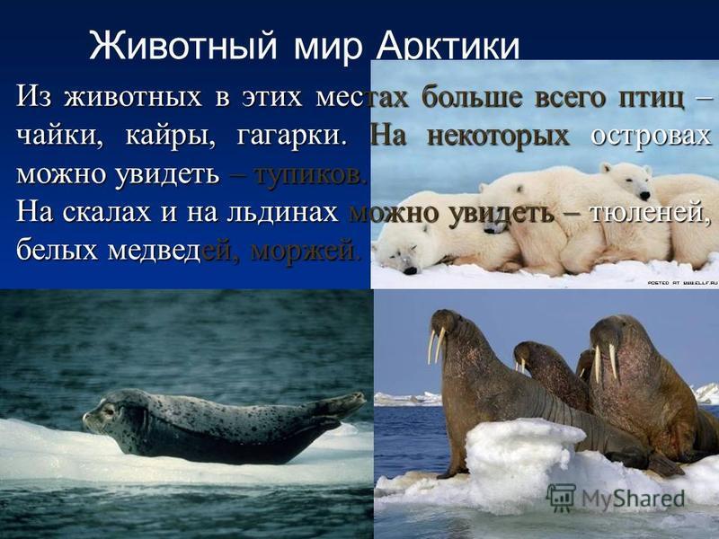 Животный мир Арктики Из животных в этих местах больше всего птиц – чайки, кайры, гагарки. На некоторых островах можно увидеть – тупиков. На скалах и на льдинах можно увидеть – тюленей, белых медведей, моржей.