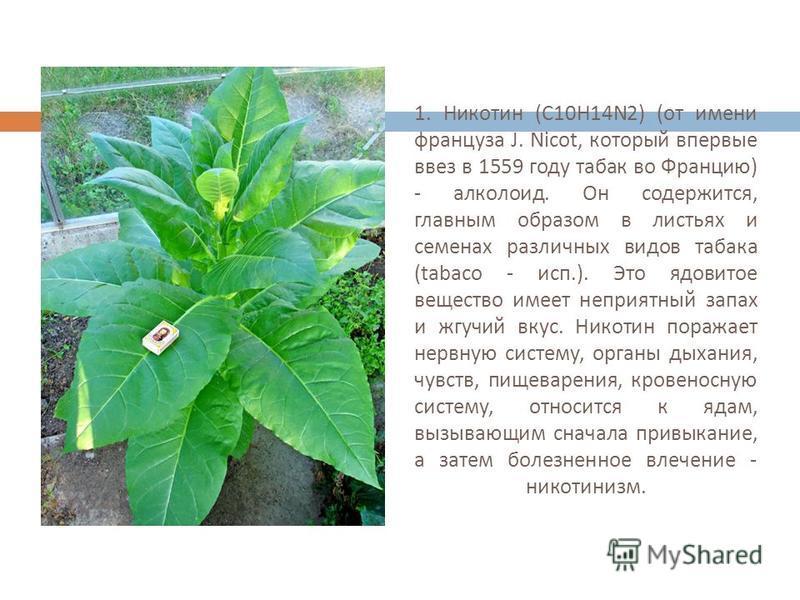 1. Никотин ( С 10 Н 14N2) ( от имени француза J. Nicot, который впервые ввез в 1559 году табак во Францию ) - алкалоид. Он содержится, главным образом в листьях и семенах различных видов табака (tabaco - исп.). Это ядовитое вещество имеет неприятный