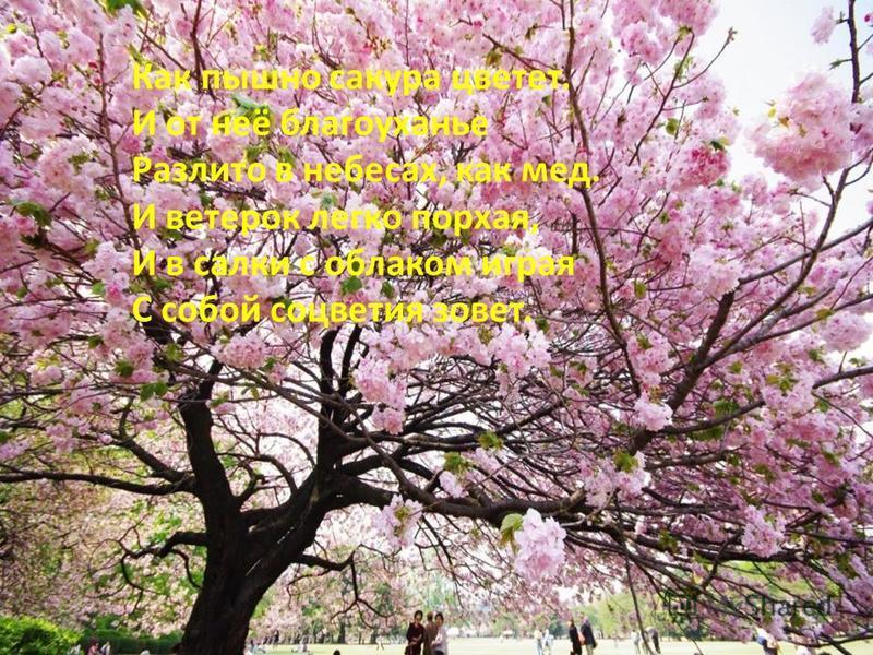 Как пышно сакура цветет. И от неё благоуханье Разлито в небесах, как мед. И ветерок легко порхая, И в салки с облаком играя С собой соцветия зовет.
