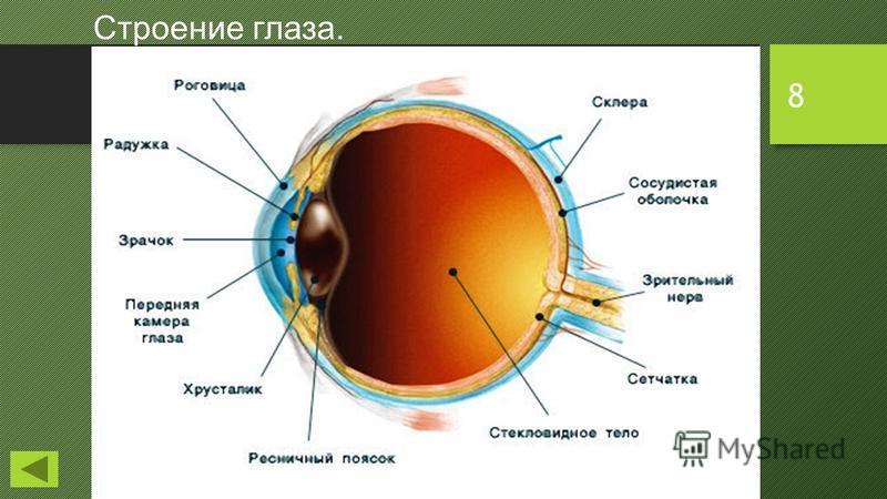 8 Строение глаза.